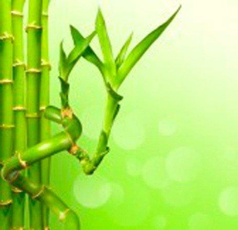 Caña de bambú recta (30 cm) - Planta viva de interior