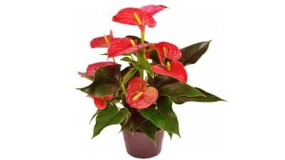 anthurium planta