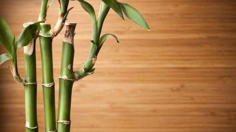 Comprar Planta Bambu Online
