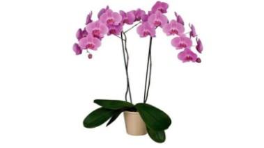 orquidea natural comprar