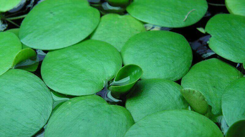 plantas flotantes acuario comprar