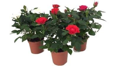 mini rosal rojo